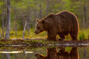 Brown bear with beautiful sunset light walks along a smal pond