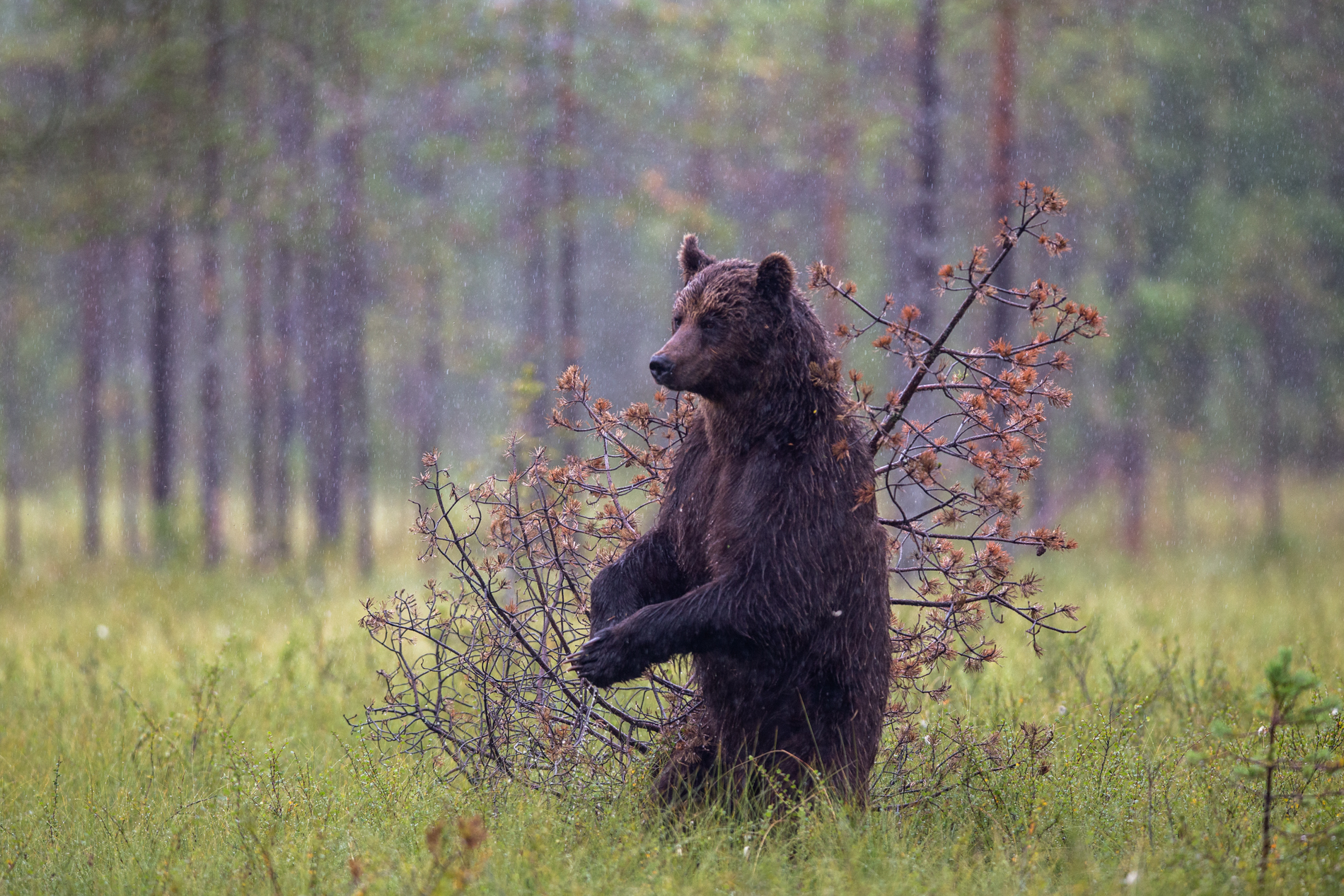 Brown bear standing up in the Forest