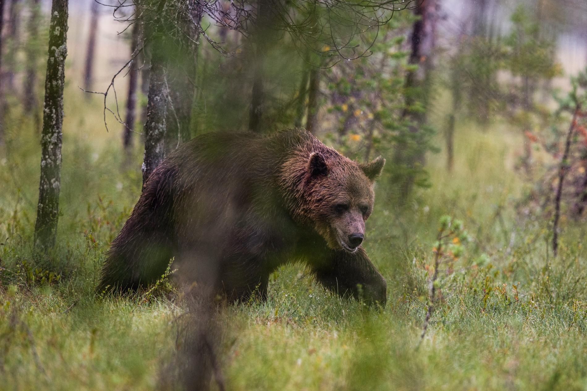 Brown bear roaming the forest of Finland