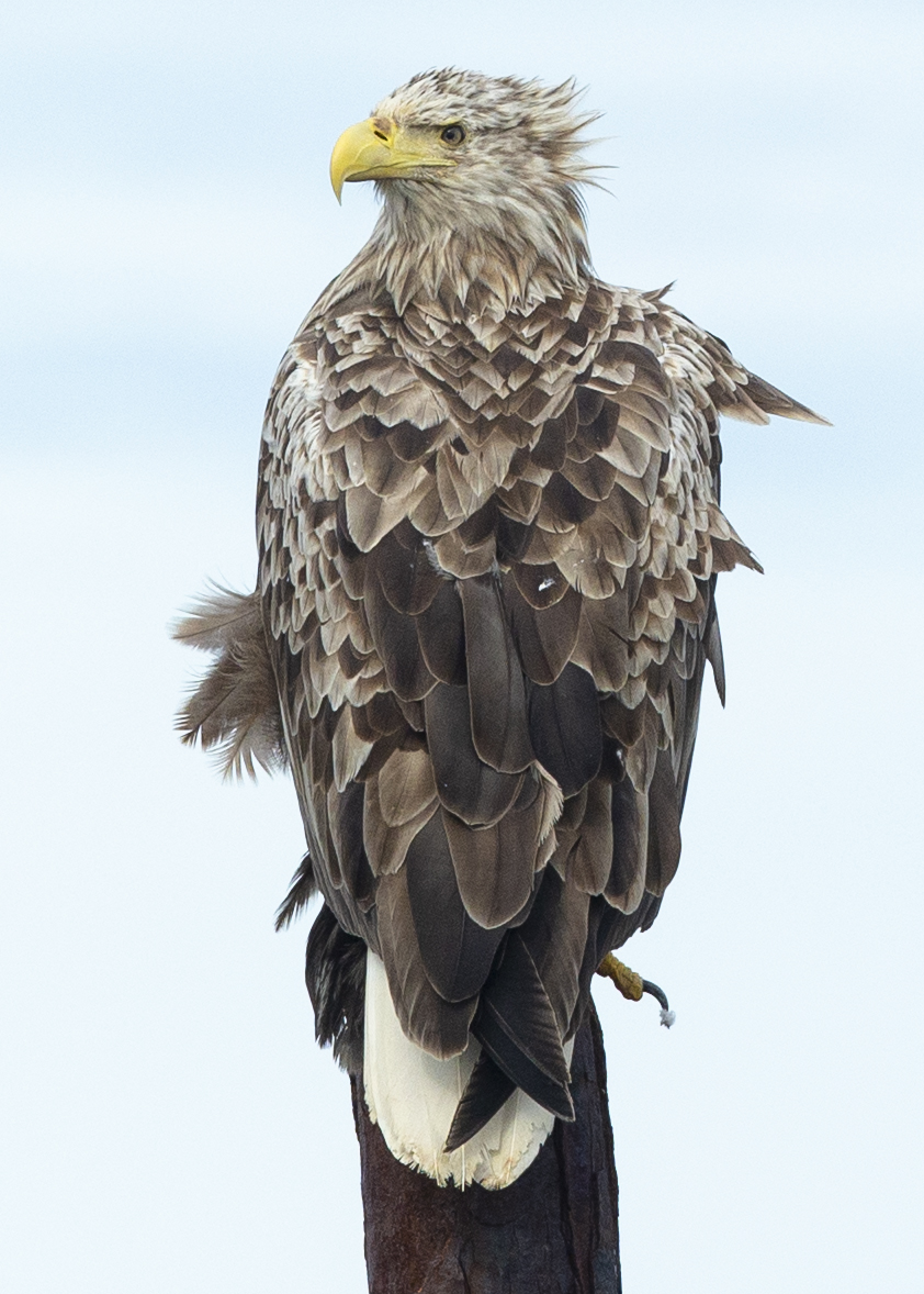 White-tailed Sea Eagle, by Piet van den Bemd.
