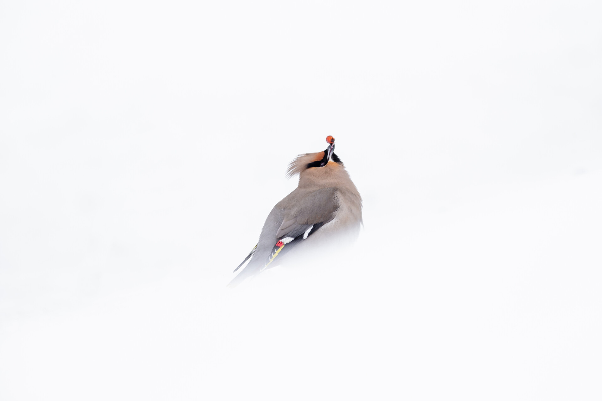Little waxwing bird in the strong ice cold Norwegian winter