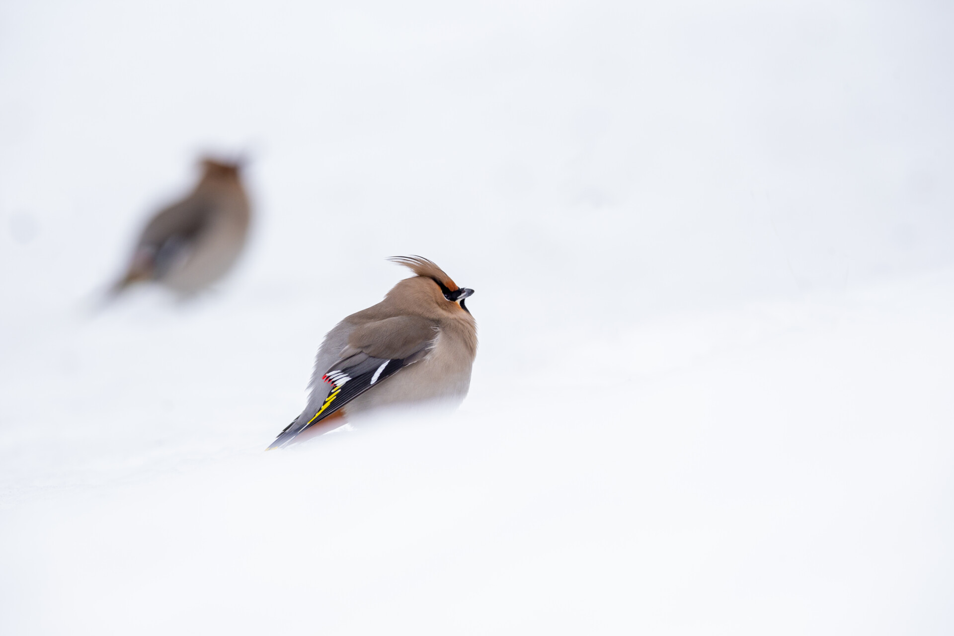 Two waxwing birds in the snow.