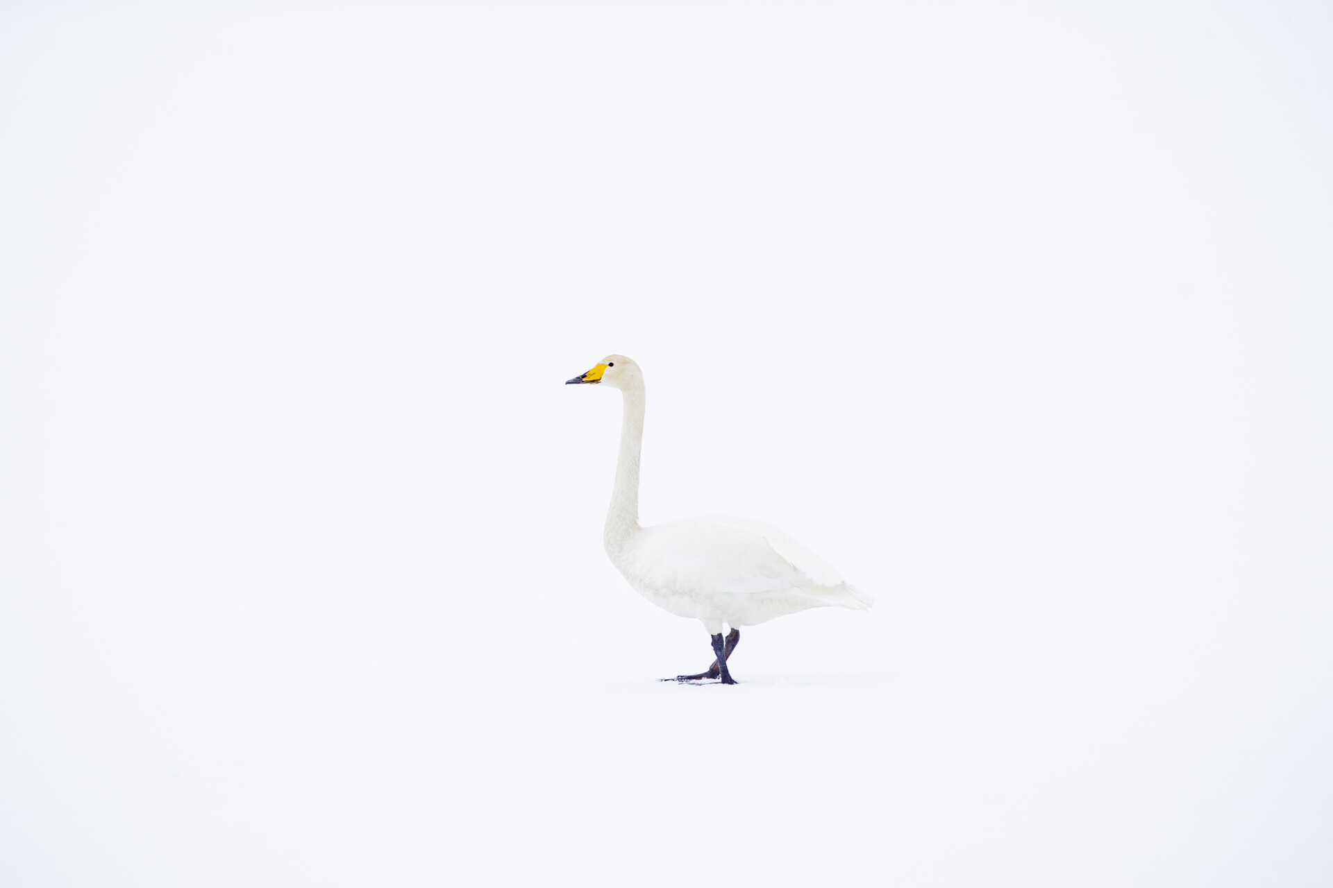 Swan in the snow from the series 'Kites in the Sky' by Piet van den Bemd©