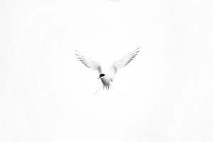 Arctic Tern from the series 'Kites in the Sky' by Piet van den Bemd©