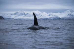 Orca Male amazing tail swims close towards my camera