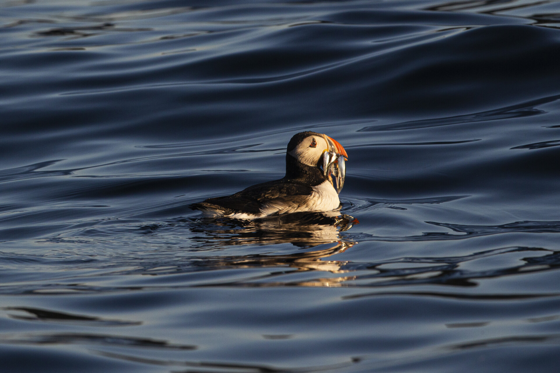 Puffin with a Mouthful of Fish. Giant Gannets, guillemots, puffin pairs, white-tailed eagles, kittiwakes, cormorants and arctic skuas. the Vesterålen Islands and the Andenes waters is not just a birders paradise. The Just ask your wildlife arctic tour guide Piet2Go.