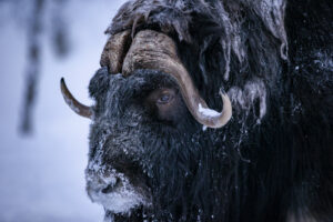 Close encounter with Musk-ox in winter by Piet van den Bemd - Animals series 'Love from the North' Animals & Landscapes.