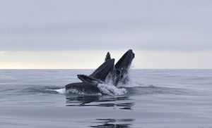 Ocean Kings Queens humpback whales lunge feeding in the waters of northern Norway