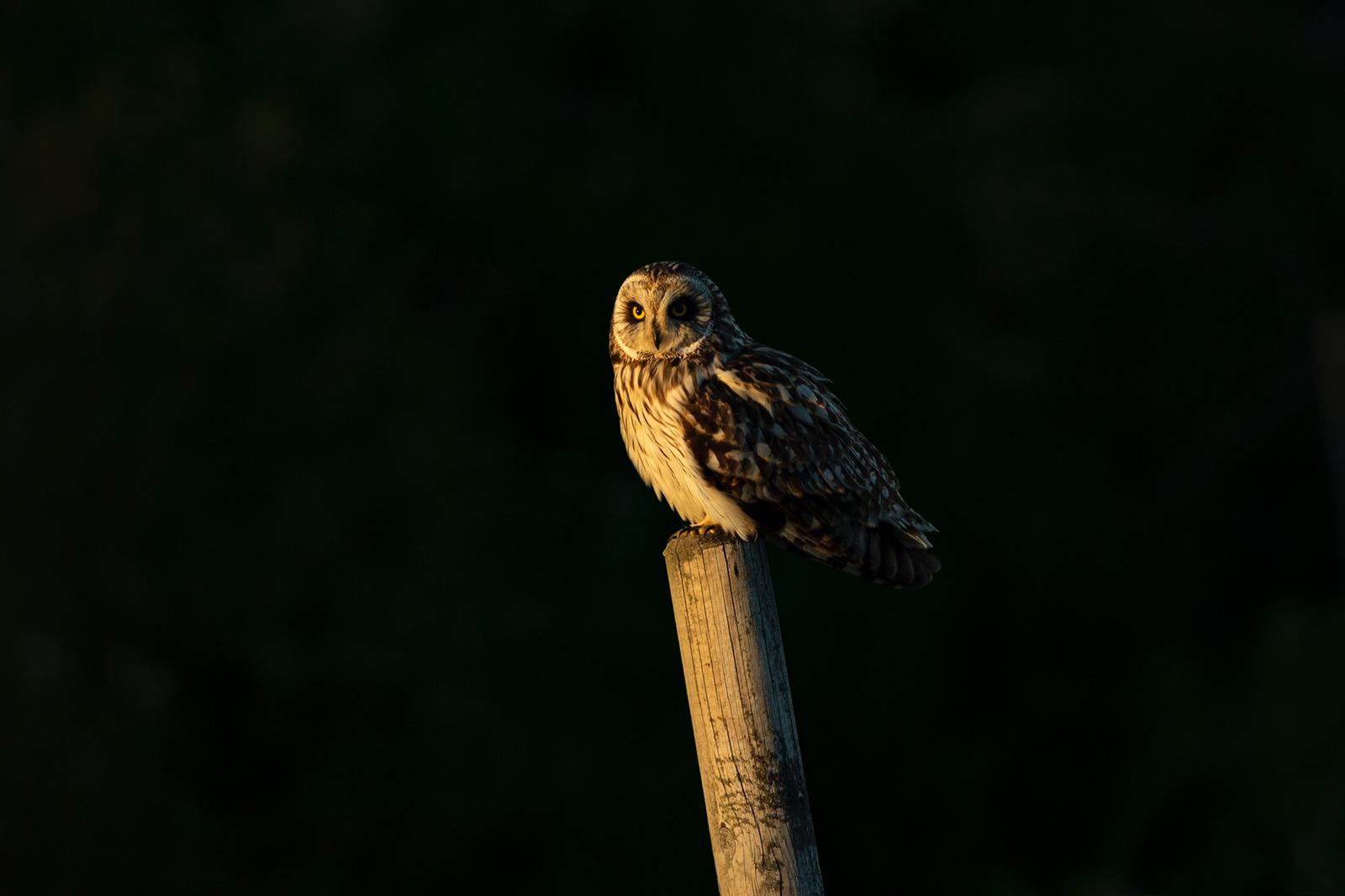 Short-eared Owl on the watch out in the dark nights by Piet van den Bemd.
