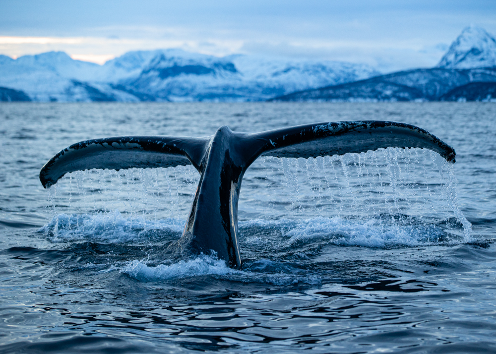 Ocean Kings and Queens Humpback whale flukes up in the direction of my lens