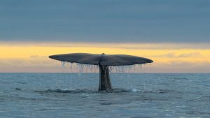 The last moment of a Spermwhale Andenes Norway