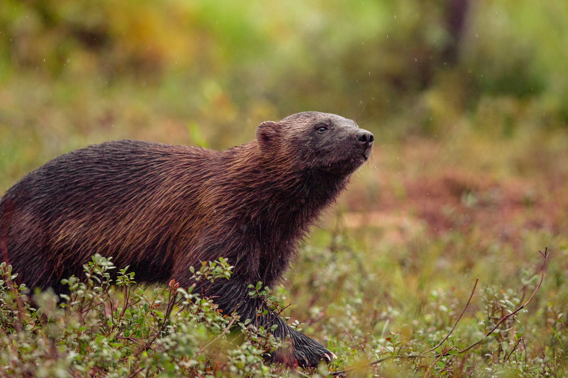 Wolverine on the taiga of Finland