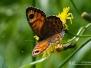 Rotsvlinder