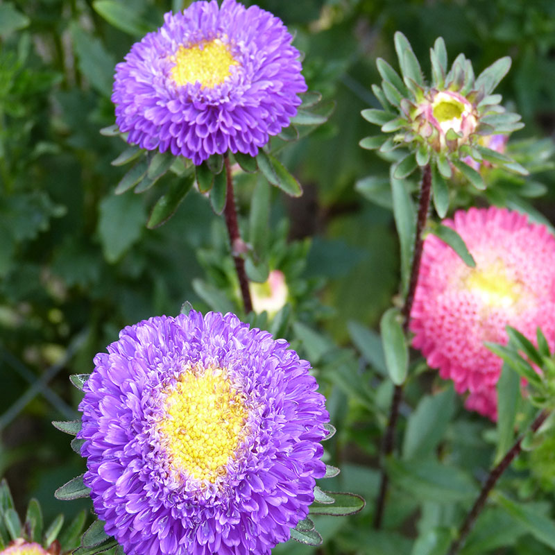 Asters blomster