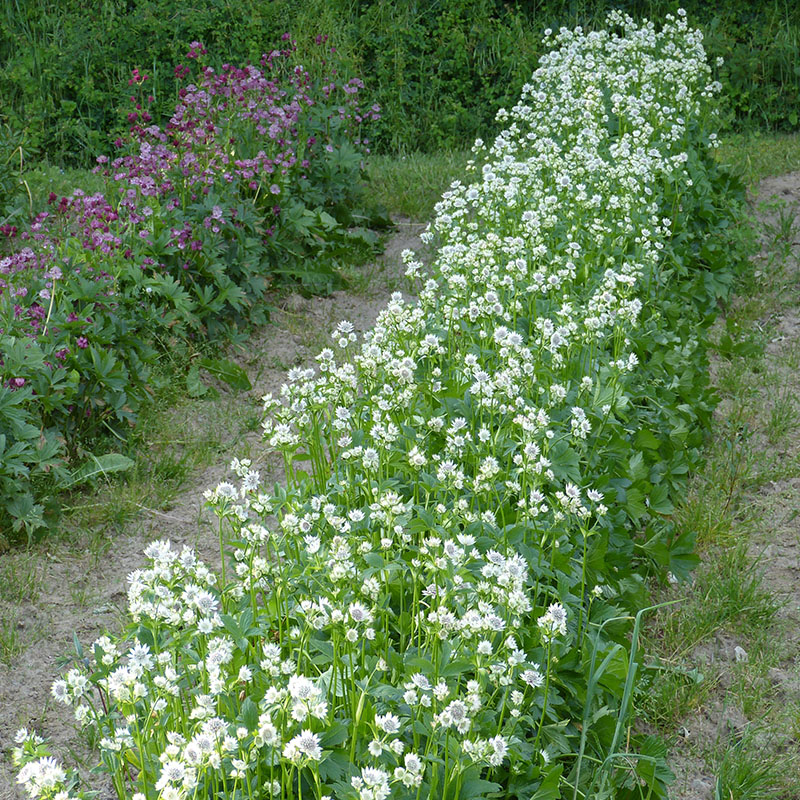 blomster hvide