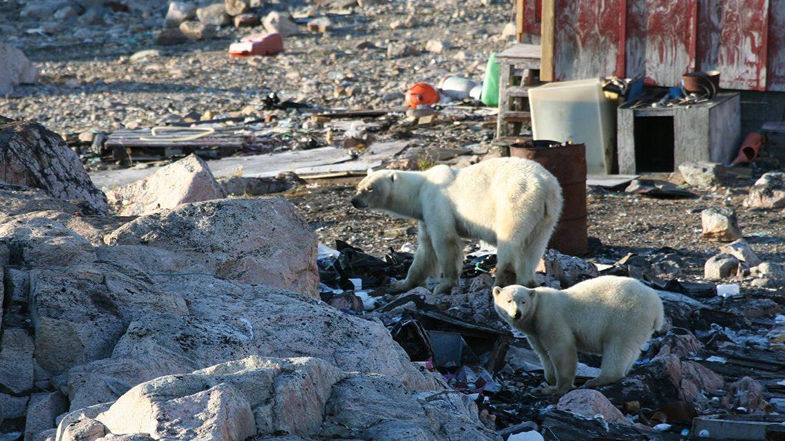 Isbjørne leder efter mad i Kap Tobin, Ittoqqortoormiit, august 2014 (foto: Charlotte M. Moshøj/WWF).