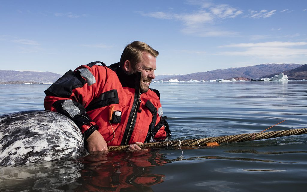 Narhval får monteret sender på tanden (foto: Carsten Egevang).