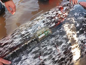 CTD-sender monteret på narhval (foto: Mads Peter Heide-Jørgensen, Pingortitaleriffik/Grønlands Naturinstitut).