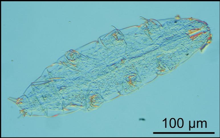 Verdens første rumbjørnedyr som klækkede efter at have været ude i rummet (kilde: Reinhardt Møbjerg Kristensens foto af rovbjørnedyret Milnesium tardigradum).