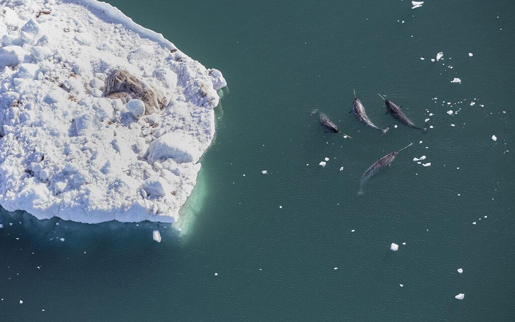 Narhvaler i Melville Bugt, Nordgrønland (foto: Carsten Egevang).