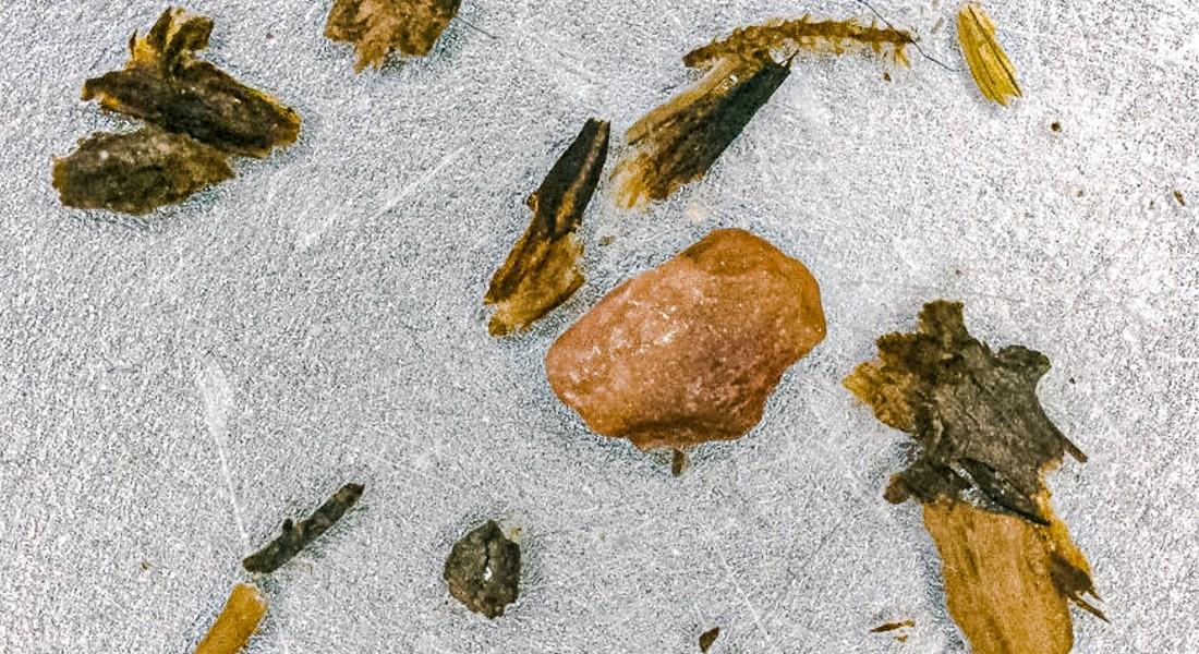 Rester af kviste og mos fra Camp Century iskernen (foto: University of Vermont).