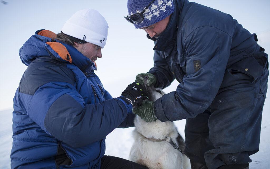 Der er dog også undtagelser, hvor forskningsprojekter har et positivt samarbejde og efterfølgende videndeling med lokalsamfundene. Et eksempel er Qimmeq-projektet om den grønlandske slædehunds genetik og kulturhistorie. På billedet ses biolog Anders Johannes Hansen og en lokal fanger tage en DNA-prøve på en slædehund i Østgrønland (foto: Carsten Egevang).