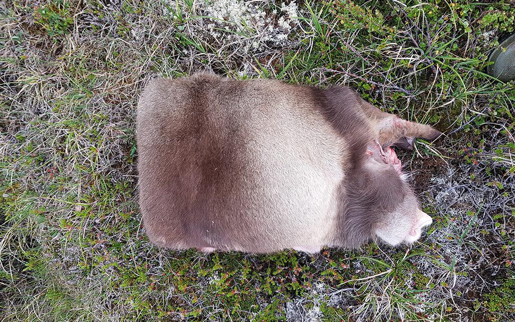 Rensdyrskind spillede en vigtig rolle i overlevelsen i Grønland. De hule hår har en eminent isolerende effekt, og skindene er behageligt bløde og stærke. I dag ser man primært skind som pynt i hjemmene og som varmt underlag på hundeslæderne, men før koloniseringen var de liggeunderlag og beklædning for alle. På billedet er skindet lige flået af dyret og er klar til at komme hjem og blive garvet – har man først siddet på et rensdyrskind i kulden, vil man aldrig sidde på andet igen! (Foto: Inge Høst Seiding).