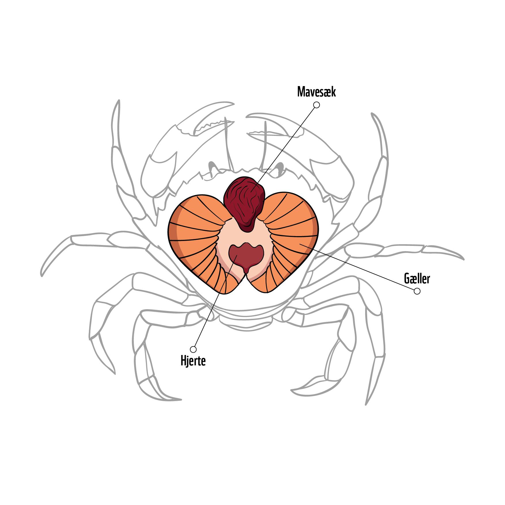 Dissektion-krabbe
