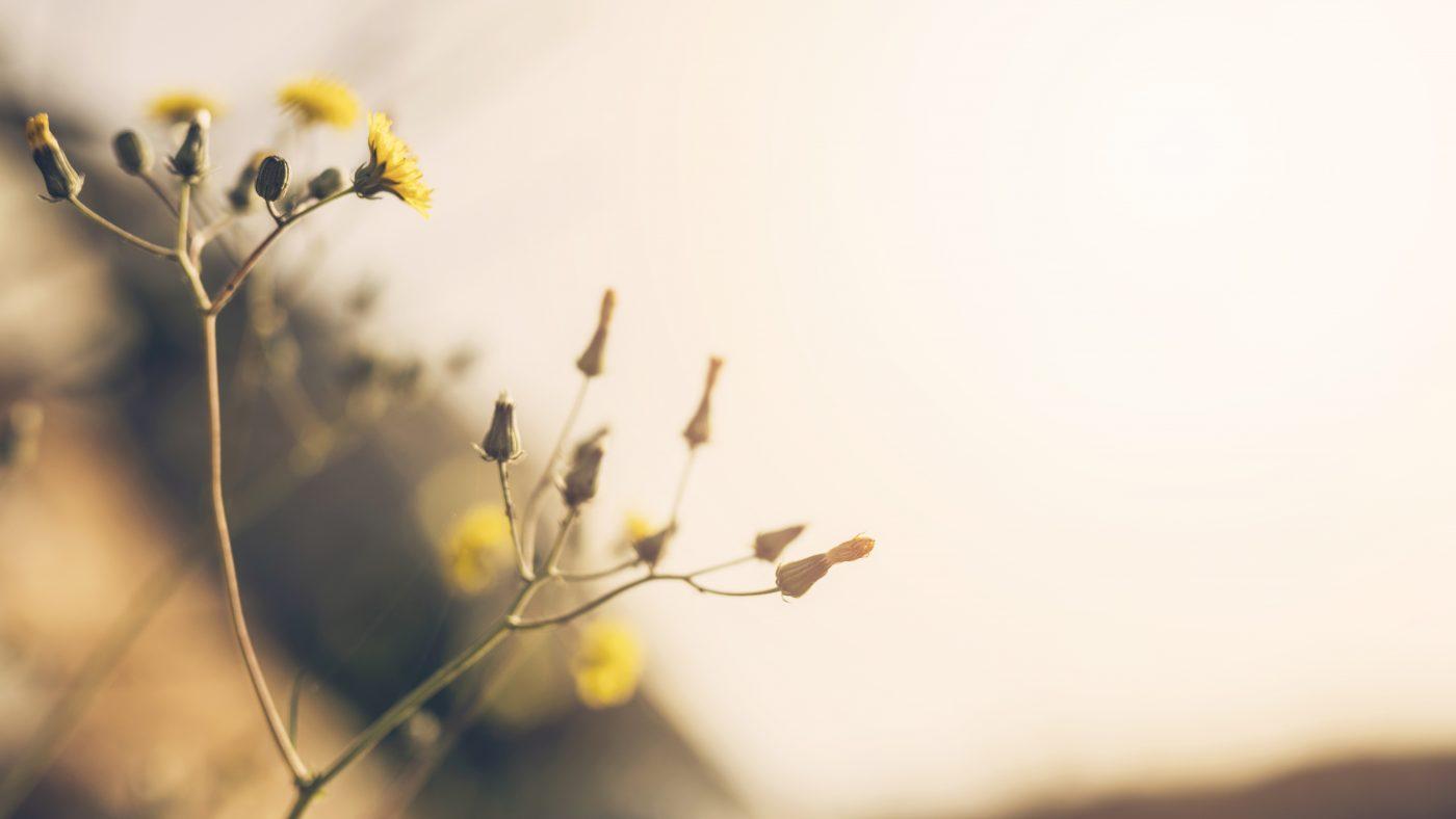 en blomst på vej til at udfolde sig.