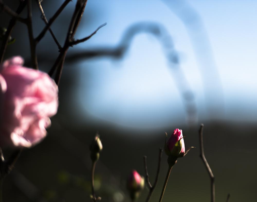 Følelser er vigtige og naturlige. Følelser hjælper os til at forstå og reagere på vores verden og guide os i vores livs beslutninger. Foto af rose i koldt vejr.