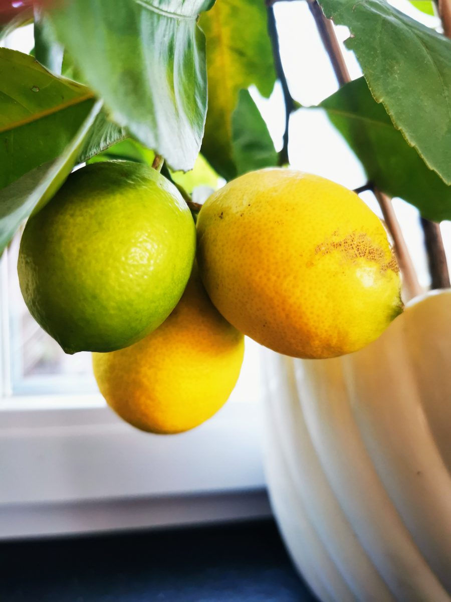 Im 12 von 12 im Oktober 2021 siehst du gelbe Zitronen, die im August noch grün waren.