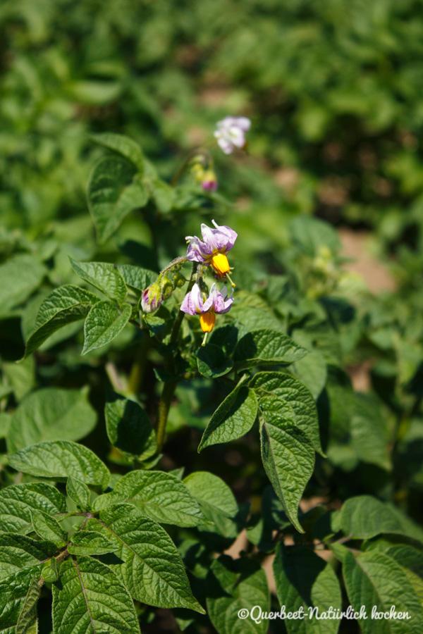 Querbeet-Natuerlichkochen.Kartoffelpflanze