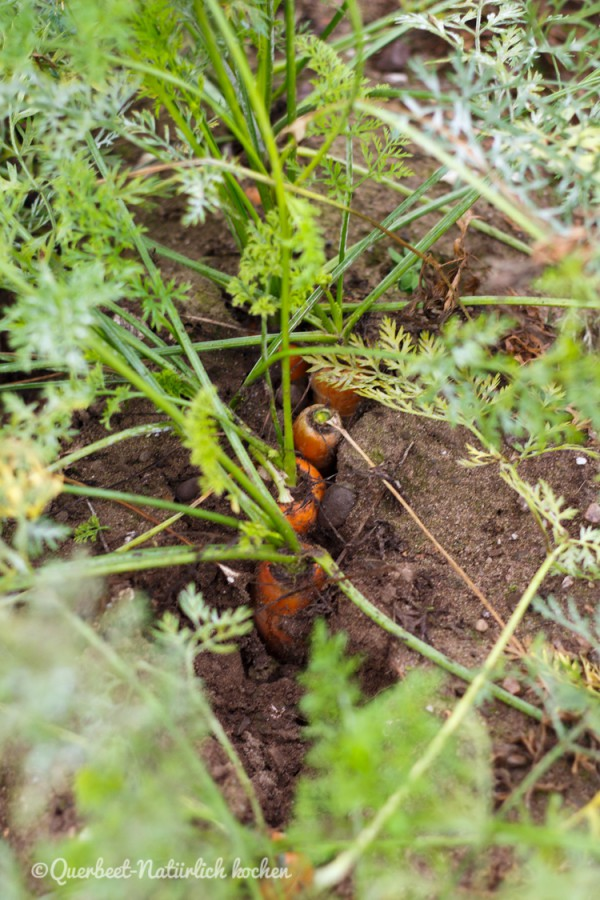 Möhren im Boden.querbeetnatuerlichkochen