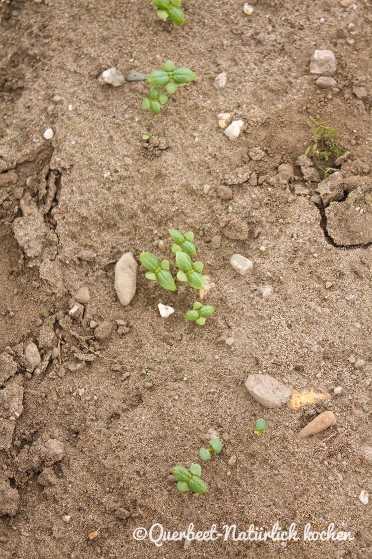 Gartenglueck2.26.Basilikum.querbeetnatuerlichkochen