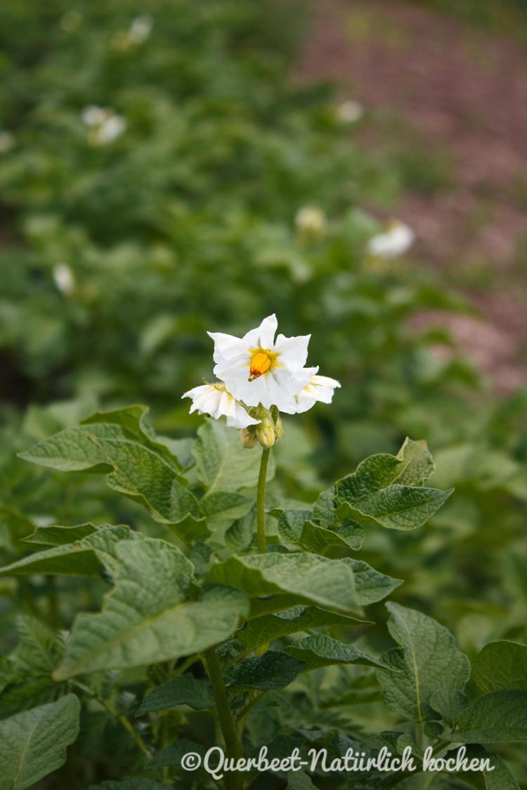 Gartenglueck2.38.Kartoffelblüte.querbeetnatuerlichkochen