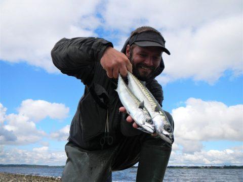 Jari med makrel fanget fra Stenrevet ved Randers Fjord.