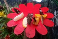 Schmetterlingsmuseum 028