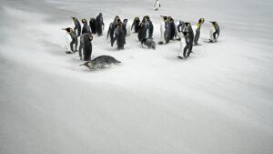 king penguins at Antarctica