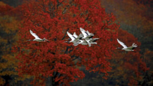 Red crowned Cranes in autumn at Hokkaido