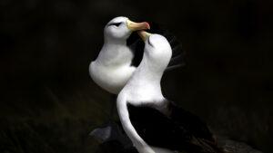 Albatross Greeting at Saunders island falklands