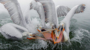 a fleet of pelicans