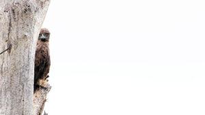 Brown Snake Eagle - Bruine slangenarend