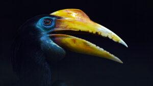 Close up of a Rhino Hornbill Neushoornvogel
