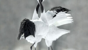 The crane, also called red crowned crane, is known as the ballerina of Japan