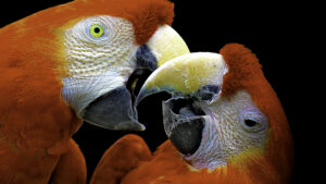 Close up of Scarlett Macaws, greeting each other, screaming, but with tenderness.