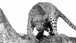 leopards in particular leave an indelible impression on those of us lucky enough to see them in their natural habitat