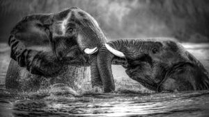 African Elephant. When water and light meet.