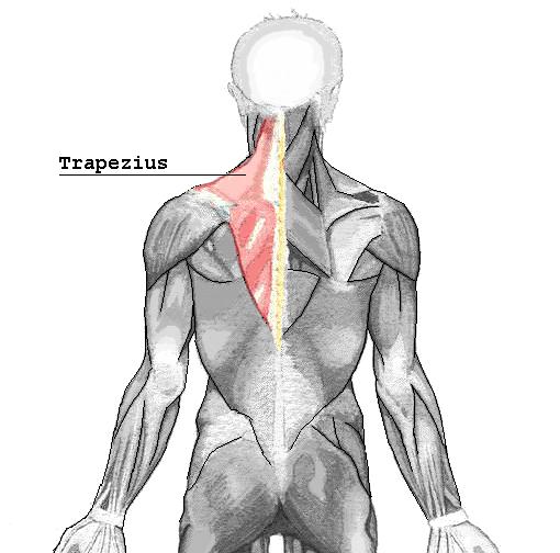 Der m. trapezius in einer Abbildung aus Wikipedia