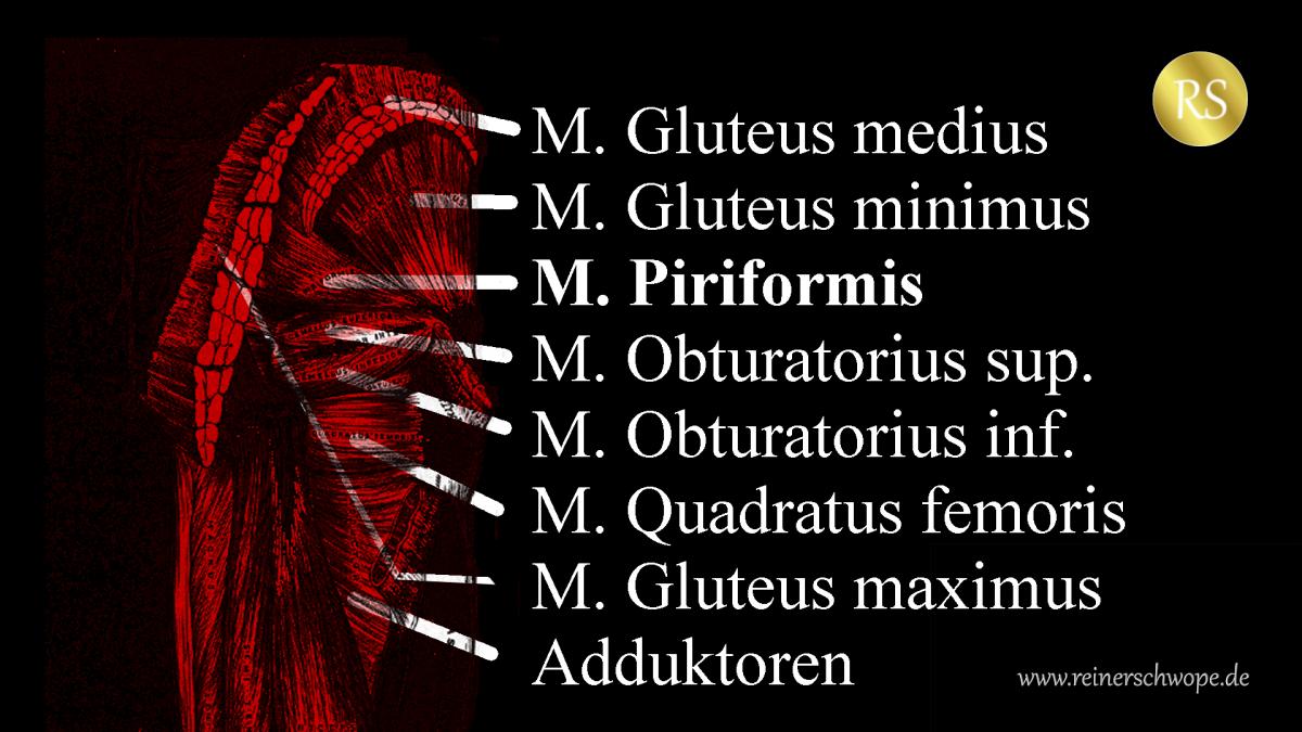 Der M. Piriformis von hinten