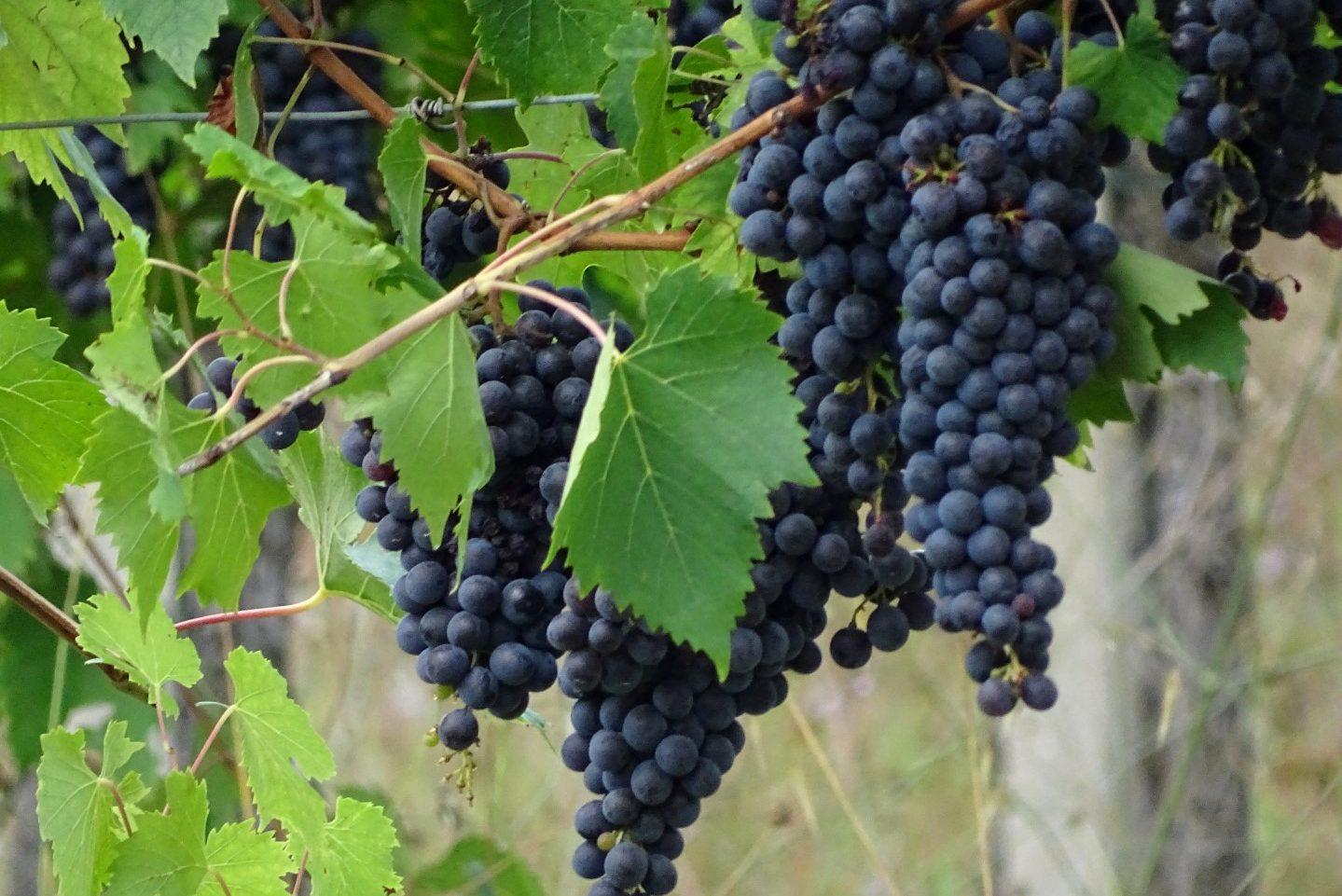 Druivenplanten San Gimignano